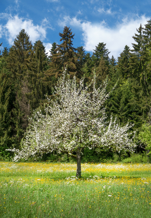 Blooming apple tree in front of a forest