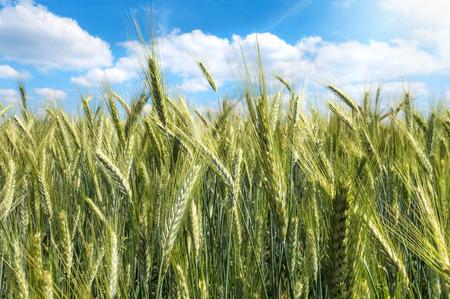 Green barley in close-up