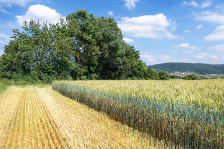 harvested: Partially harvested green rye for whole crop silage
