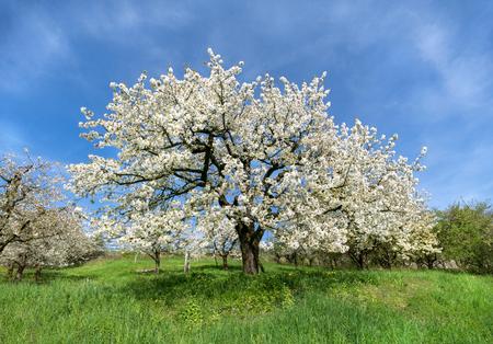 lush: Lush blooming cherry tree Stock Photo
