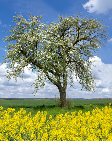 Blooming pear tree behind yellow rapeseed Stok Fotoğraf
