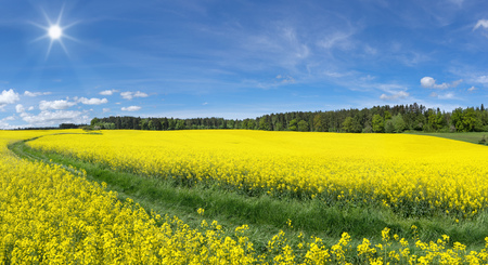 sunlit: Blooming rapeseed fields with meadow path Stock Photo