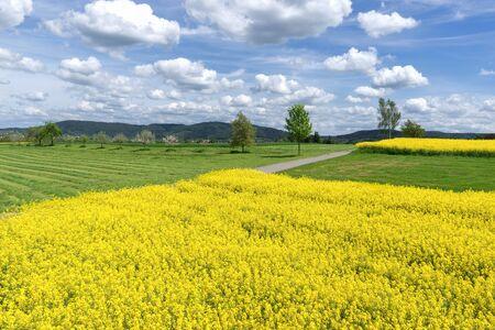 Blooming rapeseed in rural landscape