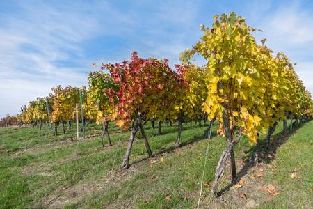 discolored: Vine stocks in autumn