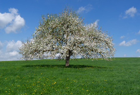 Blooming apple tree on a meadow Stock Photo