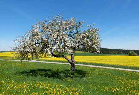 Blossoming apple tree in rural landscape Stock Photo