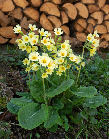 Oxlip blooms outdoors in front of a woodpile