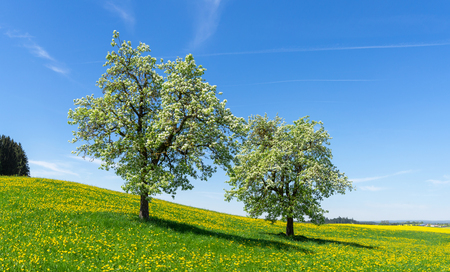 Two blooming apple trees in a flower meadow