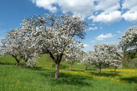 Blooming apple trees in an orchard Stock Photo