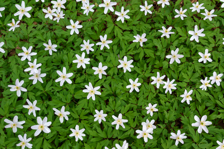 Blooming white wood anemones Stock Photo
