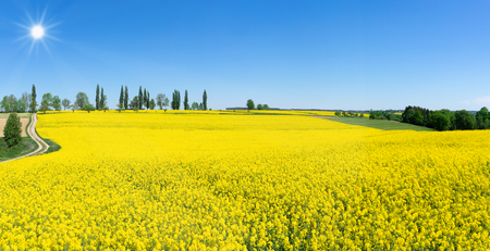 Spring landscape with blooming rapeseed