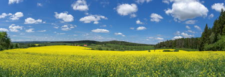 Blooming rapeseed field in picturesque, rural landscape