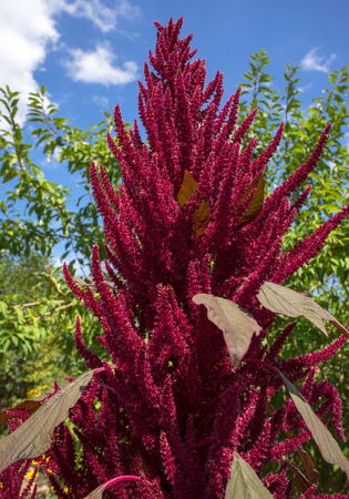 Blooming Amaranthus cruentus - Red amaranth
