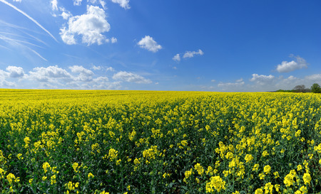 Large, looming rapeseed field reaching to the horizon