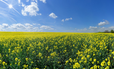Blooming rapeseed field reaching to the horizon with sun