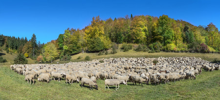 Flock of sheep in autumn Stock Photo