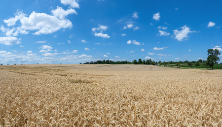Large ripe rye field just before the harvest