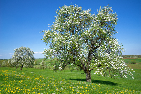 Blooming pear tree on a flower meadow Stock Photo