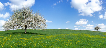 Blooming apple tree on a hilly meadow