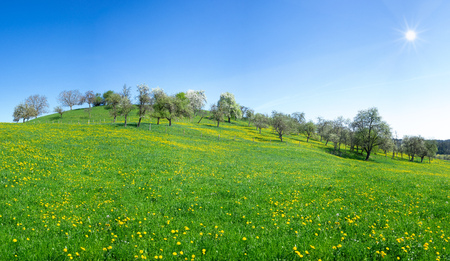 Sunny flower meadow with dandelion at a hill Stock Photo