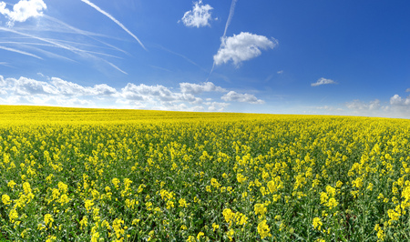 Blooming rapeseed field with contrails in the sky Stock Photo