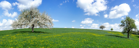 Panorama - Blooming apple tree on a large hilly meadow
