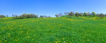 Panorama - Large meadow with yellow dandelion on a hill with blooming trees Reklamní fotografie