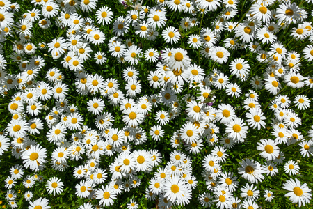 Flower bed with many marguerites from above