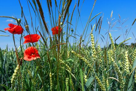 Corn poppies and grasses in a grain field