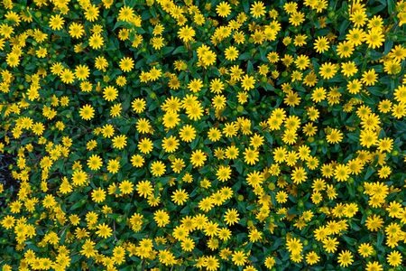 Flower bed with many yellow blossoms from above - Creeping zinnia