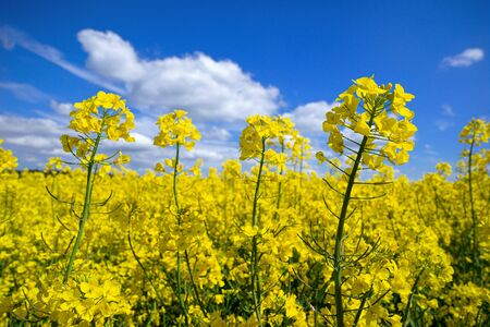 Blooming rapeseed in close-up