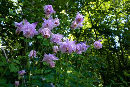 Wild flower with lilac pink blossoms in the forest - Aquilegia vulgaris - common columbine Фото со стока