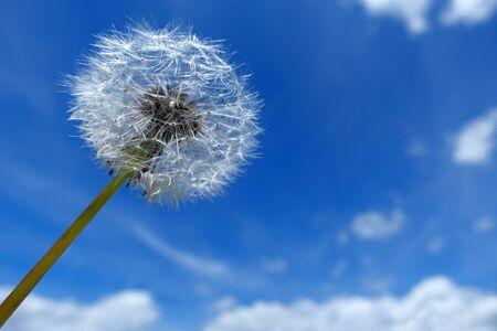 Dandelion clock against blue and white sky Stockfoto