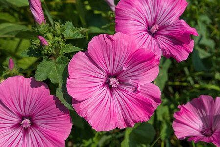 Pink flowers of the annual mallow - Lavatera trimestris Stock Photo