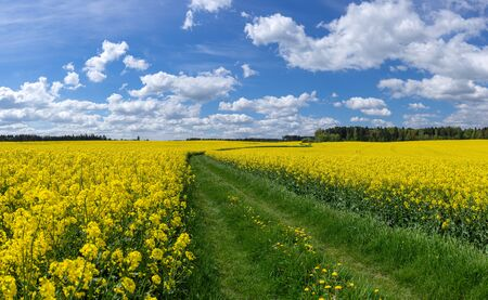 Meadow path through blooming rapeseed fields Banco de Imagens