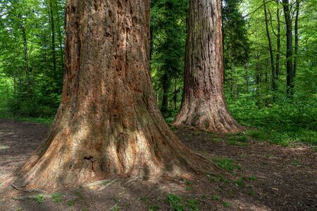 Tree trunks of two 150 years old sequoias in the forest near Sulz am Neckar, Germany