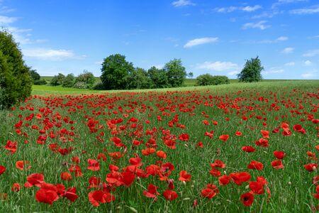 Corn poppies on a hilly meadow Reklamní fotografie