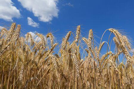 Ripe rye ears against the sky in closeup