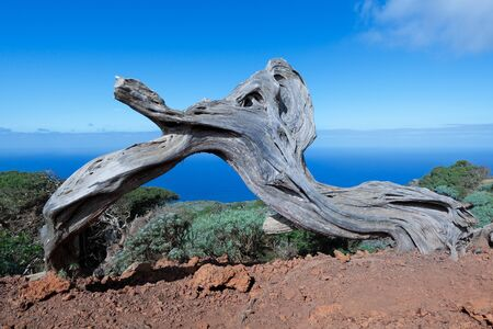 Trunk of a dead Sabina juniper tree on the island of El Hierro, Canary Islands