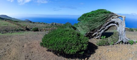 El Hierro island - old bent juniper tree with juniper bush against the Atlantic Ocean