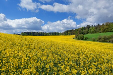 Picturesque landscape with flowering field of rapeseed