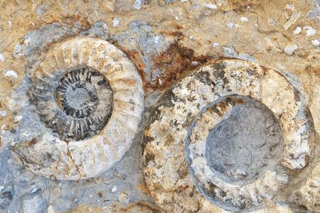 Two fossilized ammonites fossils