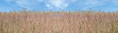 Panorama of spelt grain ears on the edge of a field Stock Photo
