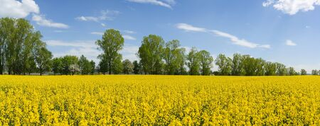 Yellow field with flowering rapeseed plants in front of a row of trees