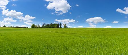 Panorama of a large field with young green barley Stock Photo