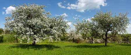 Panorama of blooming apple trees in an old orchard