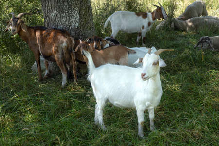 White and brown goats stand on a meadow in the shade at a tree trunk Stock Photo