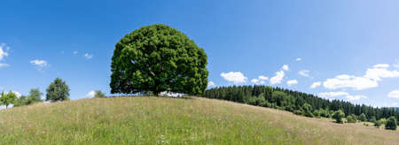Large linden tree on the hill of a hilly meadow in a panoramic landscape in summer