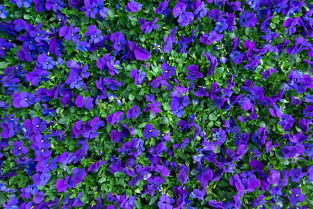 Flower bed with many small, blue purple horned violets in high angle view