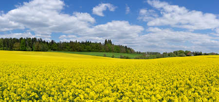Idyllic spring landscape with a large, yellow flowering rapeseed field in front of a forest Stock Photo